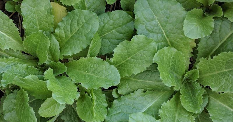 lactuca virosa leaves